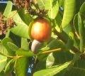 la noix de cajou (mahabibo en antakarana)